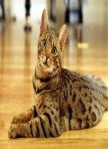 The Ocicat
