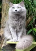 The Nebelung