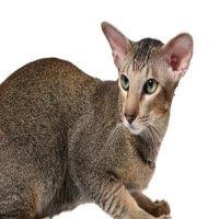 Oriental cat breeds