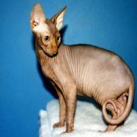 Sphynx cat breed