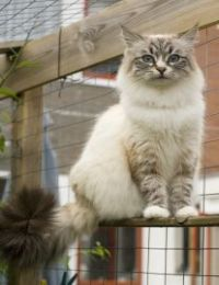 Siberian Cat Breed