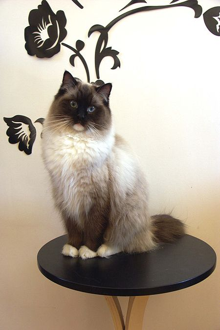 Ragdoll cat breeds