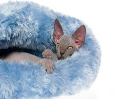 Sphynx in fur bed