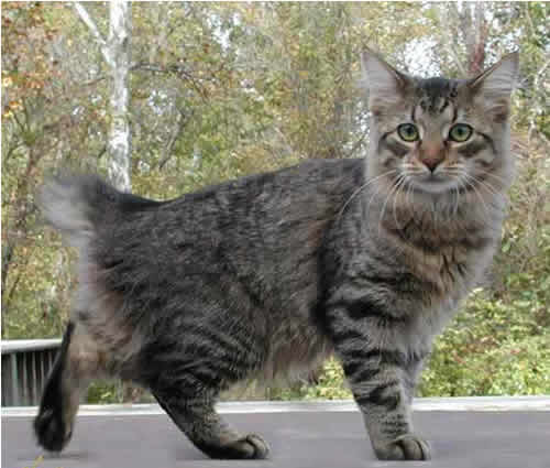 Maine Coon Cat Breed Long Tail