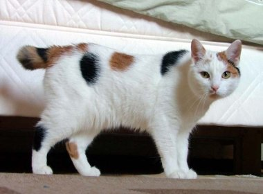 Manx cat breed