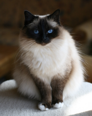 http://www.cat-breed-info.com/images/birmancat.jpg