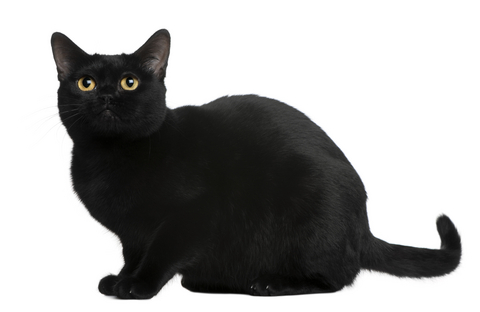 Bombay cat info
