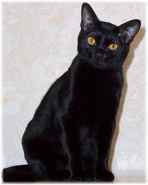 Http Www Cat Breed Info Com Bombay Cat Info Html