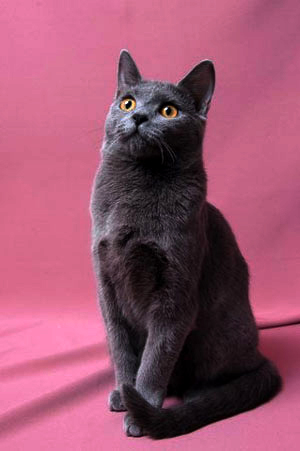 Chartreux cat breed