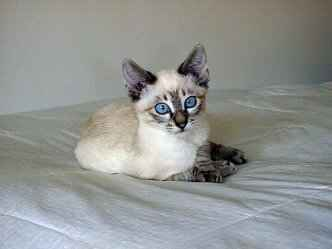 Colorpoint shorthair cat breed