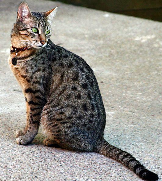 Regal Cat Breeds