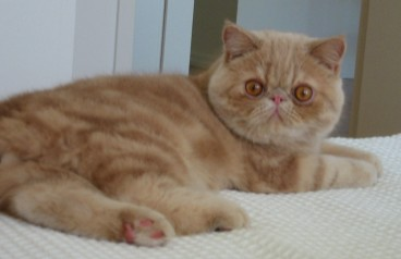 month old cream tabby Exotic Shorthair - wiki user Ycombinator