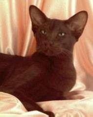 Havana cat breed