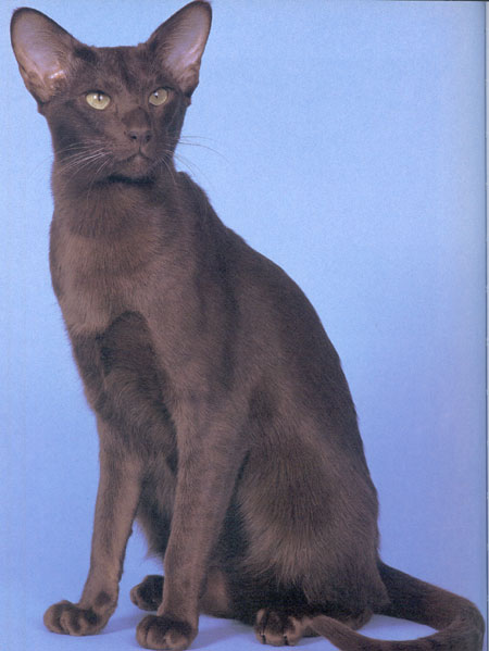 Havana cat breed