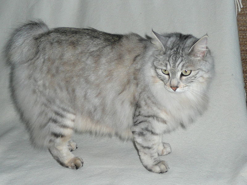 Kurilian Bobtail