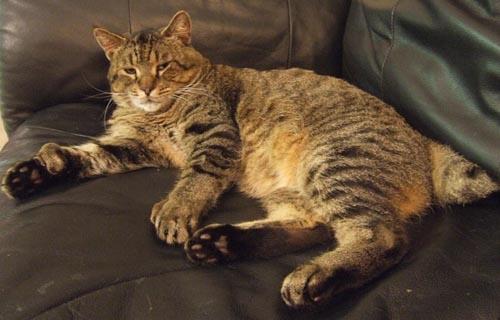 Polydactyl Pixiebob cat