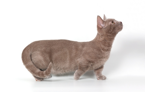 munchkin cat breed