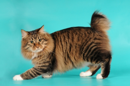 American Bobtail. This cat