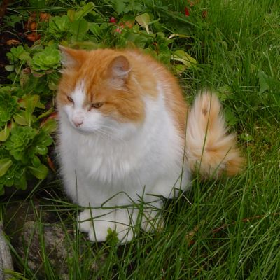The Norwegian 