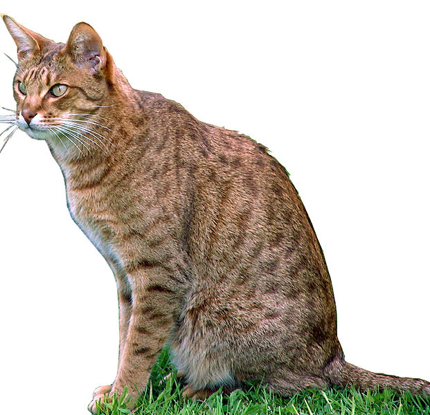 indian cat breeds