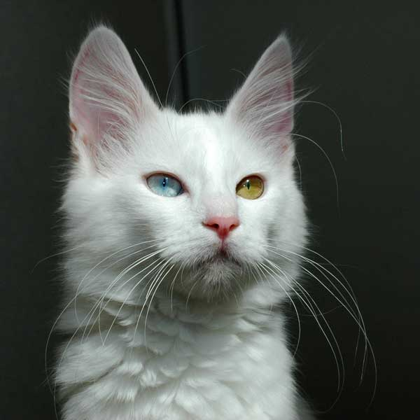 The Turkish Angora