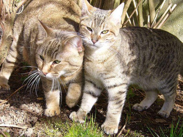 Pixiebob kittens
