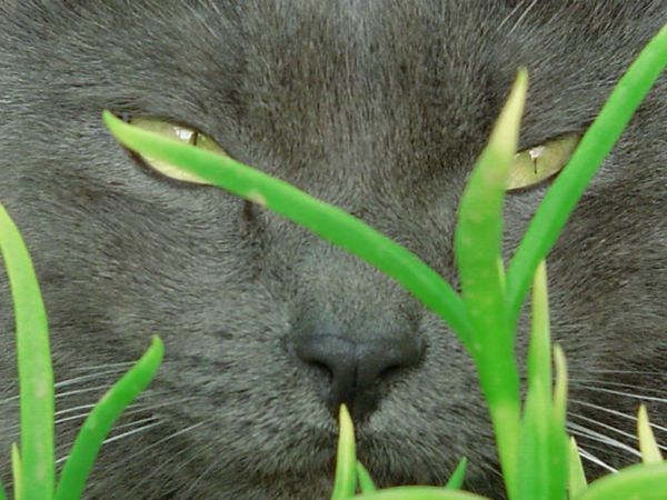 cat breeds russian blue