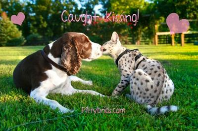 Dog kissing a Savannah Cat!
