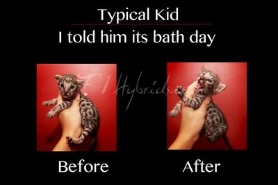 Bath day is NOT appreciated by this Savannah Kitten
