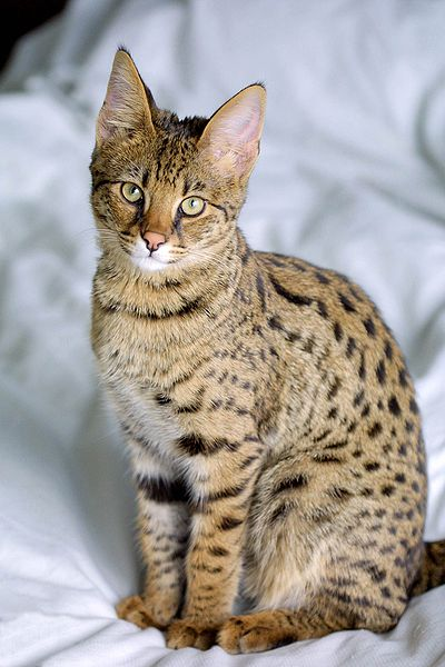Savannah cat breed