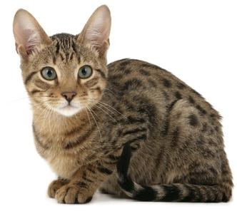 Serengeti cat breed