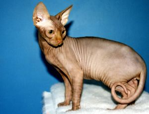 Sphynx cat breed