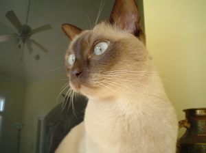 Tonkinese cat breed