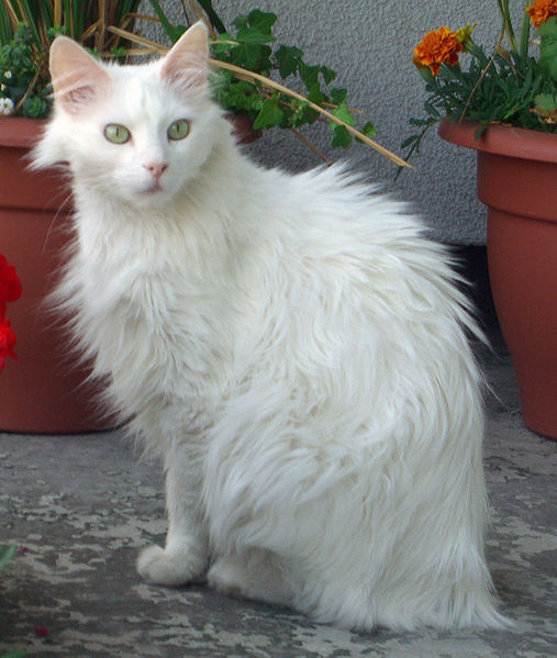 More on the Turkish Angora Cat Breed