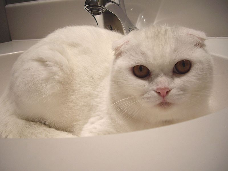 Scottish Fold cat breed