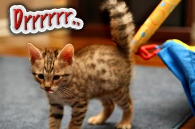 Savannah kitten having a slow moment