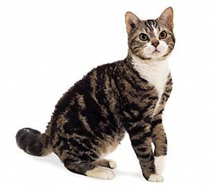 American Wirehair cat